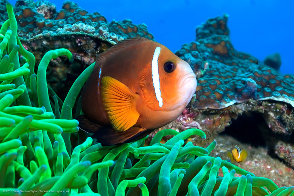 Amphiprion-omanesis_591