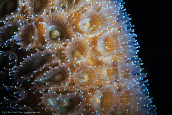 Tane-Sinclair-Taylor_DIPnet_Coral-Polyp_591